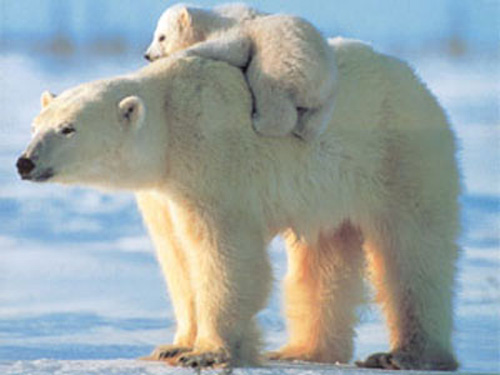 isbjørne lever